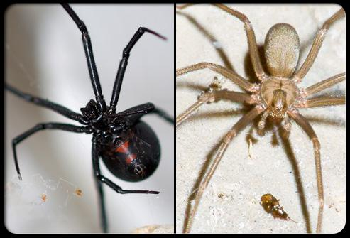 black vs brown spiders s1